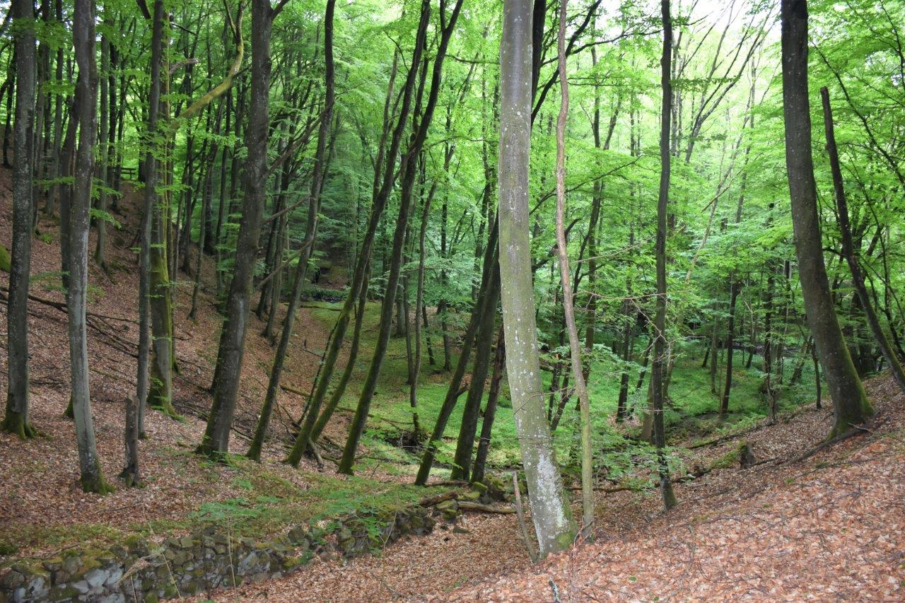 Vackra och backiga bokskogar.