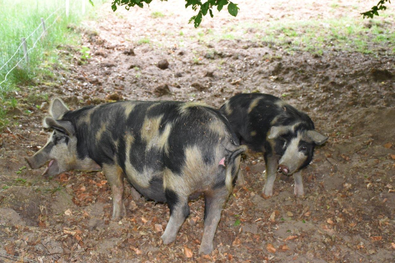 Hälsa på Mandelmans grisar.