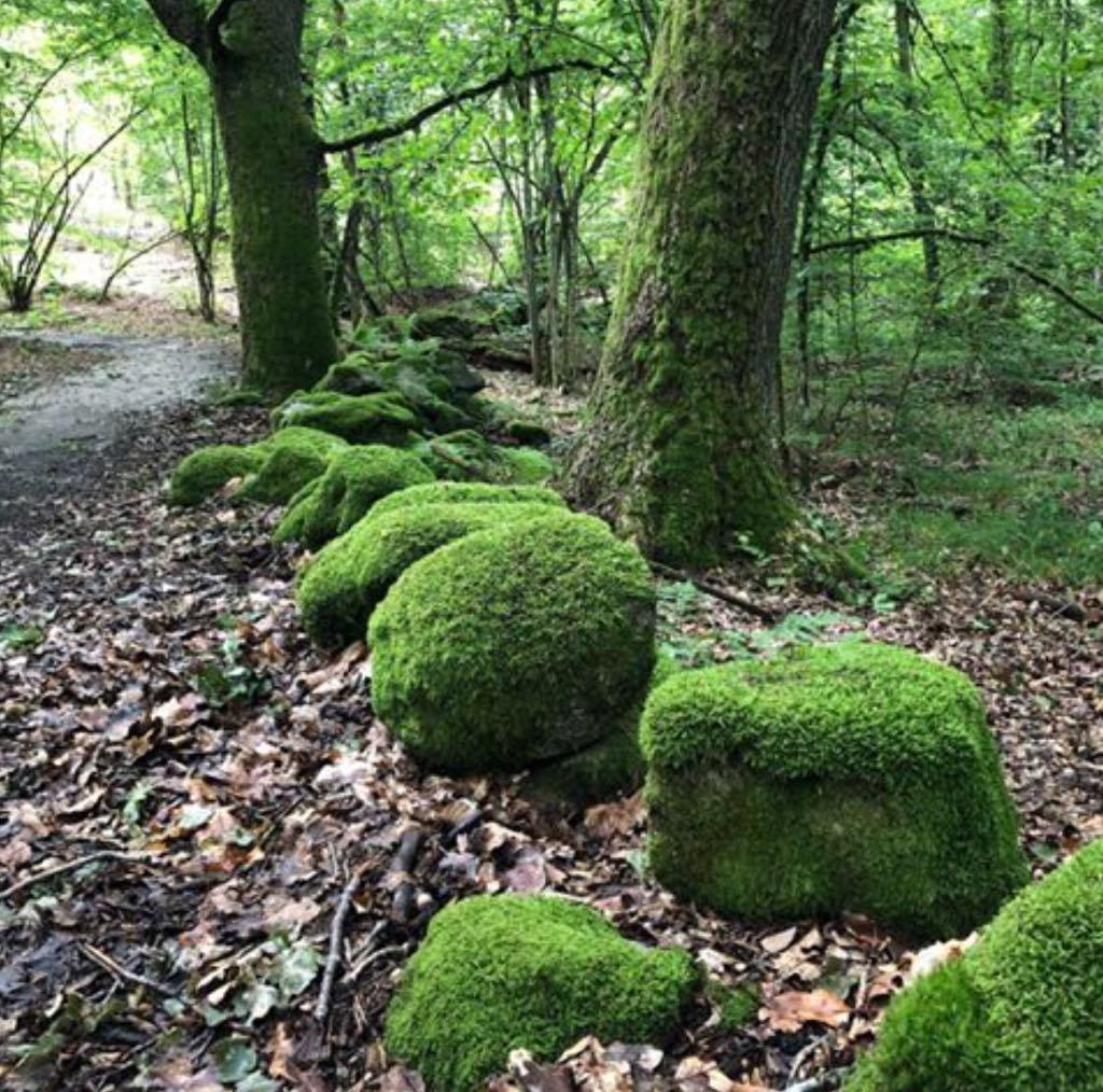 Skräddaröd skogmossa